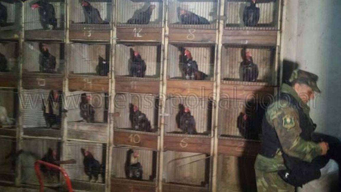 Encontraron decenas de gallos de riña