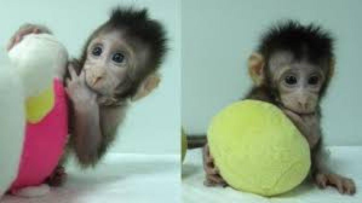 Científicos chinos clonan por primera vez a par de macacos