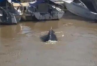Apareció una ballena en un dique de Puerto Madero