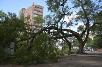 Un árbol de más de 70 años cayó en plaza Alvarado